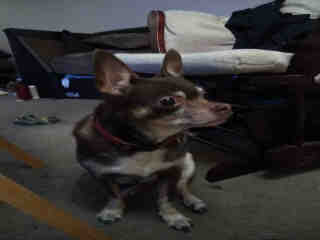 <u>CHIHUAHUA - SMOOTH COATED Male  Older  Dog </u>