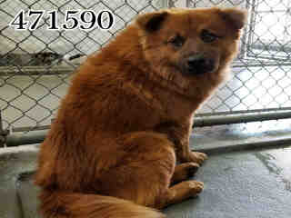 <u>CHOW CHOW Male  Adult  Dog </u>
