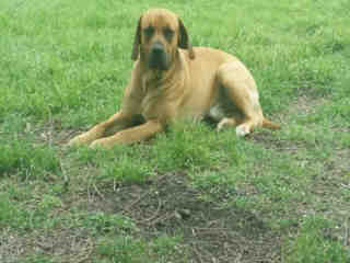 <u> Mix-Bred BOXER Male  Adult  Dog  (Secondary Breed: BLEND)</u>