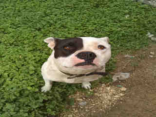 <u> Mix-Bred PIT BULL TERRIER Female  Adult  Dog  (Secondary Breed: BLEND)</u>