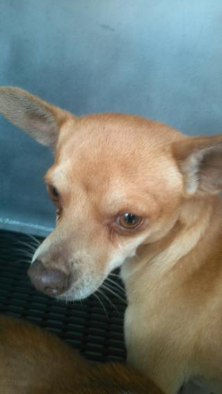 <u> Mix-Bred CHIHUAHUA - SMOOTH COATED Male  Young  Puppy  (Secondary Breed: BLEND)</u>