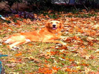 <u>GOLDEN RETRIEVER Male  Older  Dog </u>