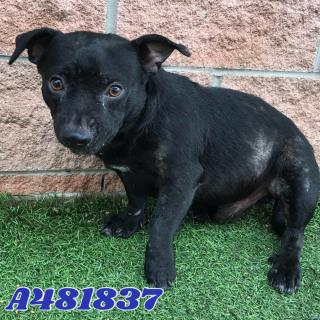 <u> Mix-Bred CHIHUAHUA - SMOOTH COATED Male  Adult  Dog  (Secondary Breed: BLEND)</u>