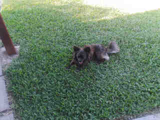 <u> Mix-Bred CHIHUAHUA - SMOOTH COATED Male  Adult  Dog  (Secondary Breed: POMERANIAN)</u>