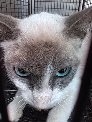 <u>SIAMESE Female  Young  Kitten </u>