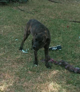 <u> Mix-Bred DUTCH SHEPHERD Female  Young  Puppy  (Secondary Breed: BLEND)</u>