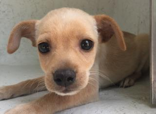 <u> Mix-Bred CHIHUAHUA - SMOOTH COATED Female  Young  Puppy  (Secondary Breed: BLEND)</u>
