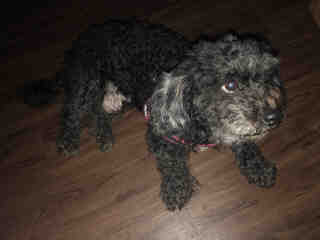 <u> Mix-Bred POODLE - MINIATURE Female  Older  Dog  (Secondary Breed: COCKER SPANIEL)</u>