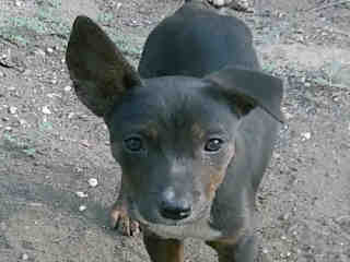 <u> Mix-Bred TERRIER Female  Young  Puppy  (Secondary Breed: BLEND)</u>