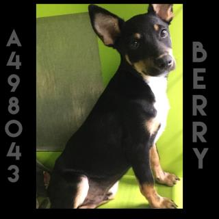 <u> Mix-Bred AUSTRALIAN CATTLE DOG Male  Young  Puppy  (Secondary Breed: BLEND)</u>