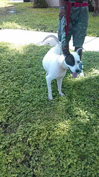 <u> Mix-Bred POINTER Female  Adult  Dog  (Secondary Breed: BLEND)</u>