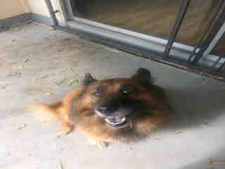 <u> Mix-Bred SHEPHERD Male  Adult  Dog  (Secondary Breed: CHOW CHOW)</u>