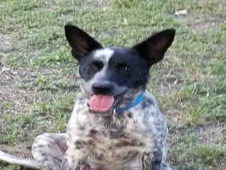<u>AUSTRALIAN CATTLE DOG Male  Young  Puppy </u>