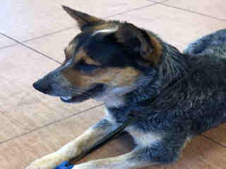 <u> Mix-Bred AUSTRALIAN CATTLE DOG Male  Adult  Dog  (Secondary Breed: BLEND)</u>