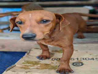 <u> Mix-Bred DACHSHUND Female  Young  Puppy  (Secondary Breed: BLEND)</u>