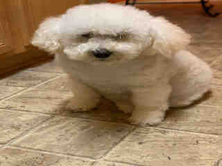 <u> Mix-Bred POODLE - MINIATURE Female  Older  Dog  (Secondary Breed: BLEND)</u>