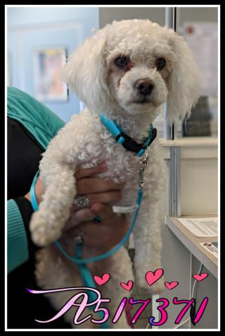 <u>POODLE - MINIATURE Female  Adult  Dog </u>