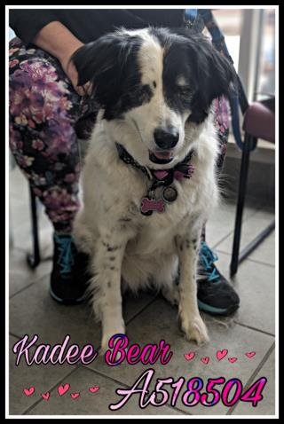 <u> Mix-Bred BORDER COLLIE Female  Adult  Dog  (Secondary Breed: GREAT PYRENEES)</u>
