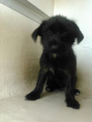 <u> Mix-Bred TERRIER Male  Young  Puppy  (Secondary Breed: BLEND)</u>