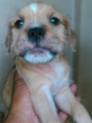<u> Mix-Bred NORFOLK TERRIER Female  Young  Puppy  (Secondary Breed: BLEND)</u>