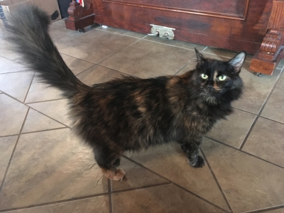 <u>DOMESTIC LONGHAIR Female  Adult  Cat </u>